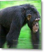 Bonobo Pan Paniscus Knuckle-walking Metal Print