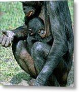 Bonobo Pan Paniscus Nursing Metal Print