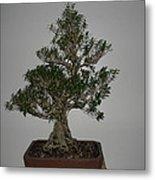 bonsai tree Serissa Foetida live tree art exposed root over rock Metal Print