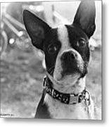 Boomer Boston Terrier Metal Print