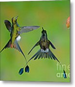 Booted Racket-tail Hummingbird Males Metal Print