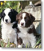 Border Collie Dog, Two Puppies Metal Print