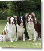 Border Collie Dogs Metal Print
