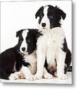 Border Collie Dogs, Two Puppies Metal Print