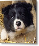 Border Collie Puppy And Wooden Wheel Metal Print