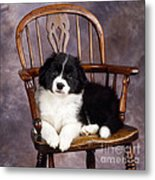 Border Collie Puppy On Chair Metal Print