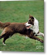 Border Collie Running Metal Print