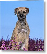 Border Terrier Dog, In Heather Metal Print