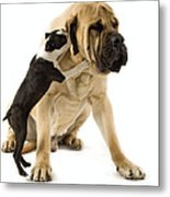 Boston Terrier And Mastiff Metal Print