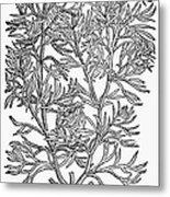 Botany: African Rue, 1597 Metal Print
