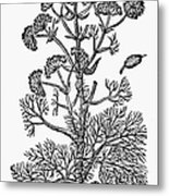 Botany: Giant Fennel, 1597 Metal Print