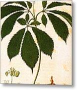 Botany: Ginseng Metal Print