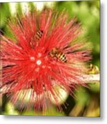 Powder Puff Flower With Bees Metal Print