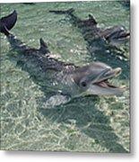 Bottlenose Dolphin In Shallow Lagoon Metal Print