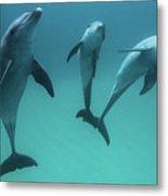 Bottlenose Dolphins Metal Print