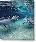 Bottlenose Dolphins In Shallow Water Metal Print