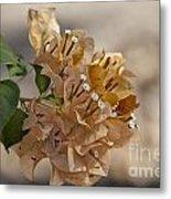 Bougainvillea Flowers  Metal Print