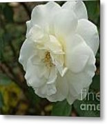 Bountiful White Rose... Metal Print
