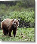 Bow Lake Bear Metal Print
