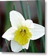 Bowed Daffodil Metal Print