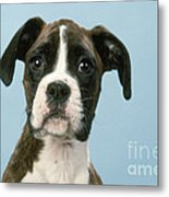 Boxer Dog, Close-up Of Head Metal Print by John Daniels