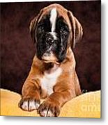 Boxer Dog Puppy Metal Print by Doreen Zorn