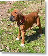Boxer Puppy 2 Metal Print by Maria Urso