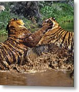 Boxing Bengal Tigers Wildlife Rescue Metal Print