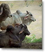 Brahman Cattle Metal Print by Peggy Collins