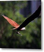 Brahminy Kite With Catch  Metal Print