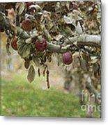 Branch Of An Apple Tree Metal Print by Juli Scalzi