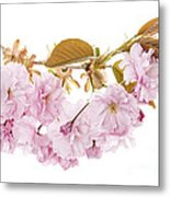 Branch With Cherry Blossoms Metal Print