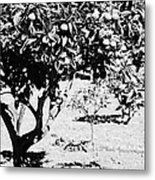 branches of green unripened oranges on an orange tree bush growing in a garden Tenerife Canary Islands Spain Metal Print
