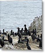 Brandt's Cormorant Colony At Point Lobos State Natural Reserve Metal Print