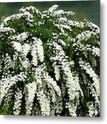 Bridal Wreath Spirea - White Flowers - Florist Metal Print