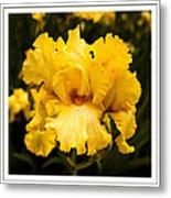 Bright Bright Spring Yellow Iris Flower Fine Art Photography Print  Metal Print
