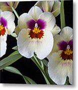 Bright Miltonia Orchids Metal Print