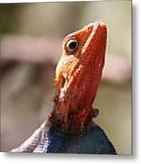 Brightly-colored Lizard Eyeing The Camera  Metal Print