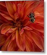 Brilliant Red Dahlia Metal Print