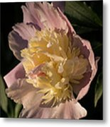 Brilliant Spring Sunshine - A Showy Pink Peony From My Garden Metal Print