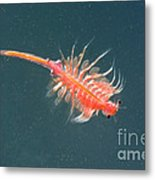 Brine Shrimp Metal Print