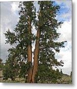 Brisslecone Pine Tree Metal Print