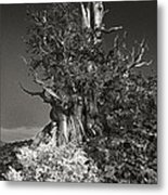 Bristlecone And Wildflowers In Black And White Metal Print