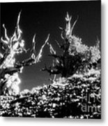 Bristlecone Twins In Infrared Metal Print