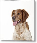 Brittany Dog, Close-up Of Head Metal Print