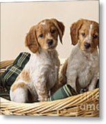 Brittany Dog Puppies In Basket Metal Print