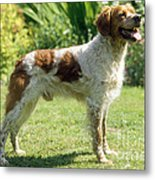 Brittany Dog, Standing Side Metal Print