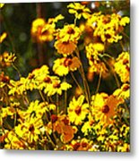 Brittle Bush In Bloom  Metal Print