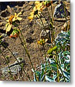Brittlebush On Borrego Palm Canyon Trail In Anza-borrego Desert Sp-ca Metal Print