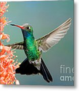 Broad-billed Hummingbird At Ocotillo Metal Print